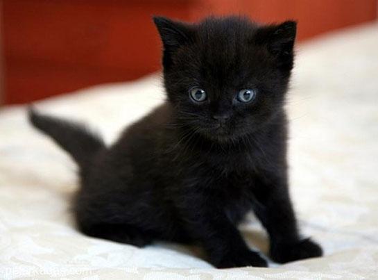 Bombay Kedisi, Türleri ve Özellikleri - kediler.gen.tr